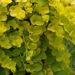 Lysimachia Goldilocks 6 Pots/Pack