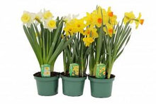 Load image into Gallery viewer, Daffodil - Narcissus spp.