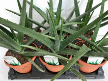 "Load image into Gallery viewer, Aloe Vera 6"" Terra cotta"