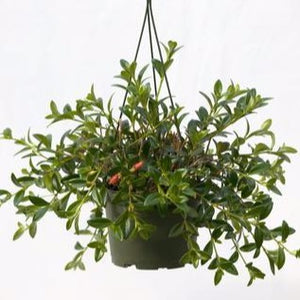 "Gold Fish (Nematanthus) 6"" Hanging Basket"