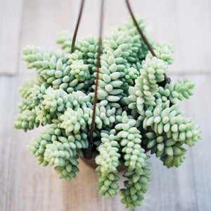 Burrows Tail Succulent Hanging Basket 6""