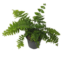 Load image into Gallery viewer, Ferns 4""