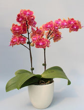 Load image into Gallery viewer, Phalaenopsis Orchid (Hybrid)