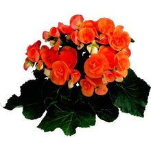 Load image into Gallery viewer, Begonia Hanging Basket (Rieger)
