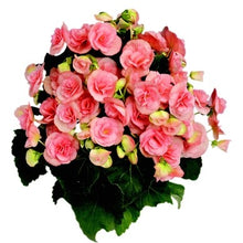 Load image into Gallery viewer, Begonias 6 Pots/Pack