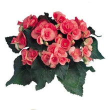 "Load image into Gallery viewer, Begonia (Rieger) 6"" Pot"