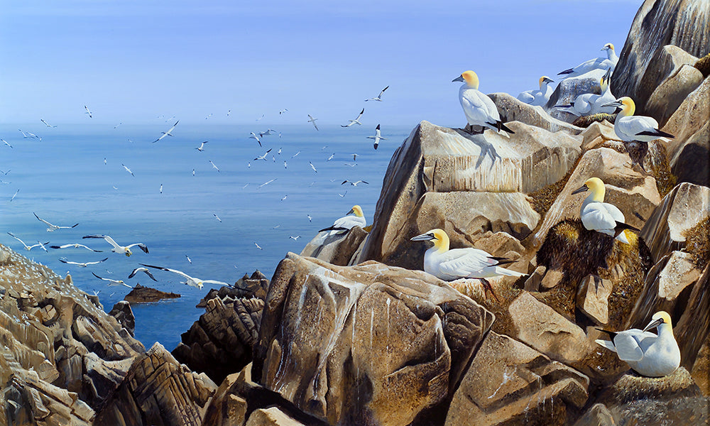 Gannet Colony, Great Saltee bird art print by wildlife artist David Miller. Morus bassanus.