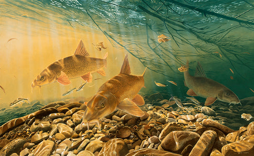 Exclusive canvas fish art, Autumn Gold barbel print by wildlife artist David Miller. Barbus barbus.