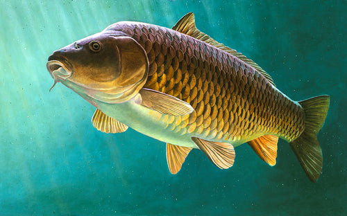 clarissa limited edition carp fish art print for the 2018 to 2019 rod licence by wildlife artist David Miller. Cyprinus carpio.