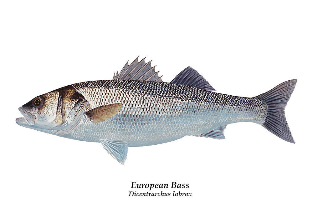 European Bass illustration fish art print by wildlife artist David Miller. Dicentrarchus labrax.