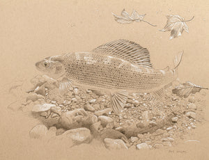 Autumn Grayling Study