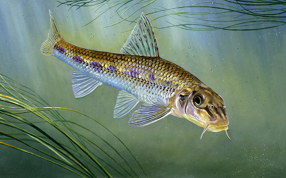 Gudgeon rod licence fish art print by David Miller. Gobio gobio.