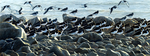 High Tide Roost, Oystercatchers bird art print by wildlife artist david miller