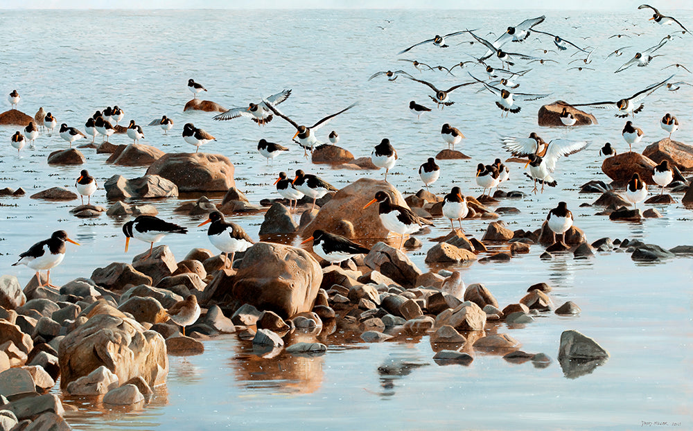 Joining the Roost, Oystercatchers bird art print by wildlife artist david miller