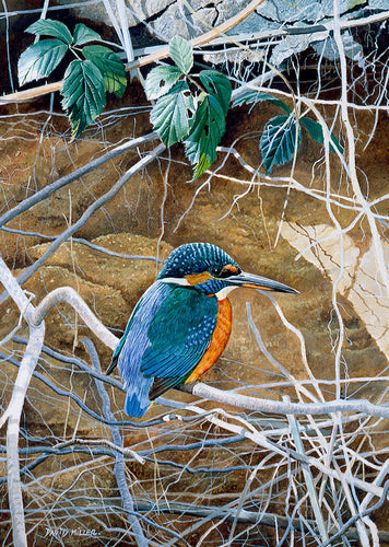 Kingfisher Bank bird art print by wildlife artist david miller