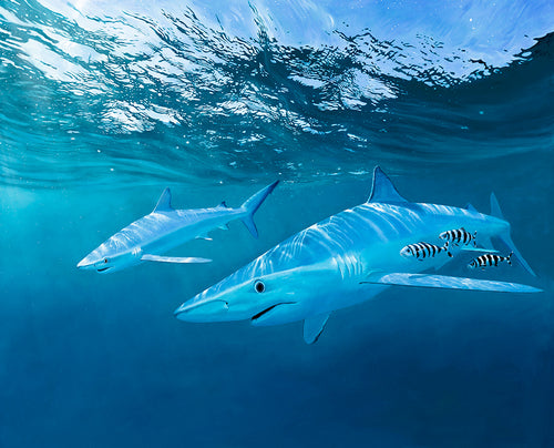 Ocean Wanderers, Blue Shark and Pilot Fish