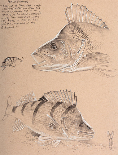 Perch Study 4 fish art print by wildlife artist David Miller. Perca fluviatilis.