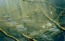 Load image into Gallery viewer, Pike and Roach fish art print by wildlife artist david miller
