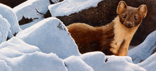 Load image into Gallery viewer, Winter Pine Marten open edition wildlife art print of a pine marten in the snow by artist david miller