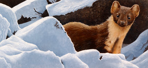 Winter Pine Marten open edition wildlife art print of a pine marten in the snow by artist david miller