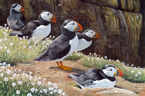 Puffins on the Wick bird art print of Skomer puffins by wildlife artist David Miller. Fratercula arctica