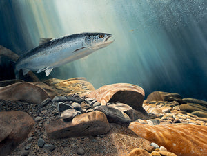 Salmon on the Fly open edition fish art print of a salmon underwater by David Miller. Salmo salar.