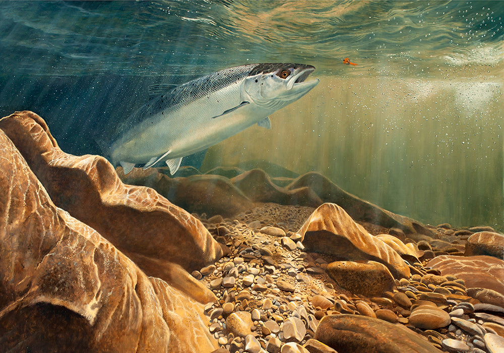The Salmon and the Fly limited edition fish art print by wildlife artist David Miller. Salmo salar.