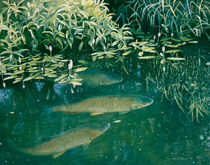 Chub and bistort open edition fish art print by wildlife artist David Miller. Squalius cephalus.