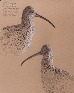 Original mixed media portrait drawing of two Eurasian curlew by wildlife artist David Miller