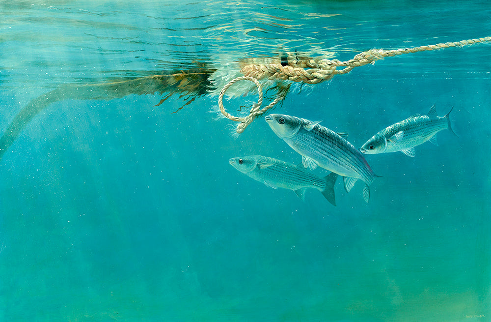 Harbour Mullet 2 fish art print by wildlife artist david miller