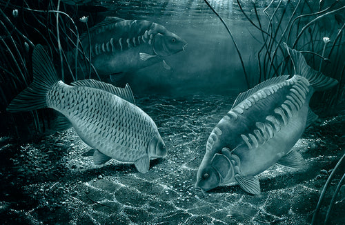 Midnight Carp black and white fishing art print by wildlife artist David Miller. Cyprinus carpio.