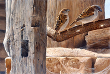 Load image into Gallery viewer, Mr and Mrs House Sparrows bird art print by wildlife artist david miller