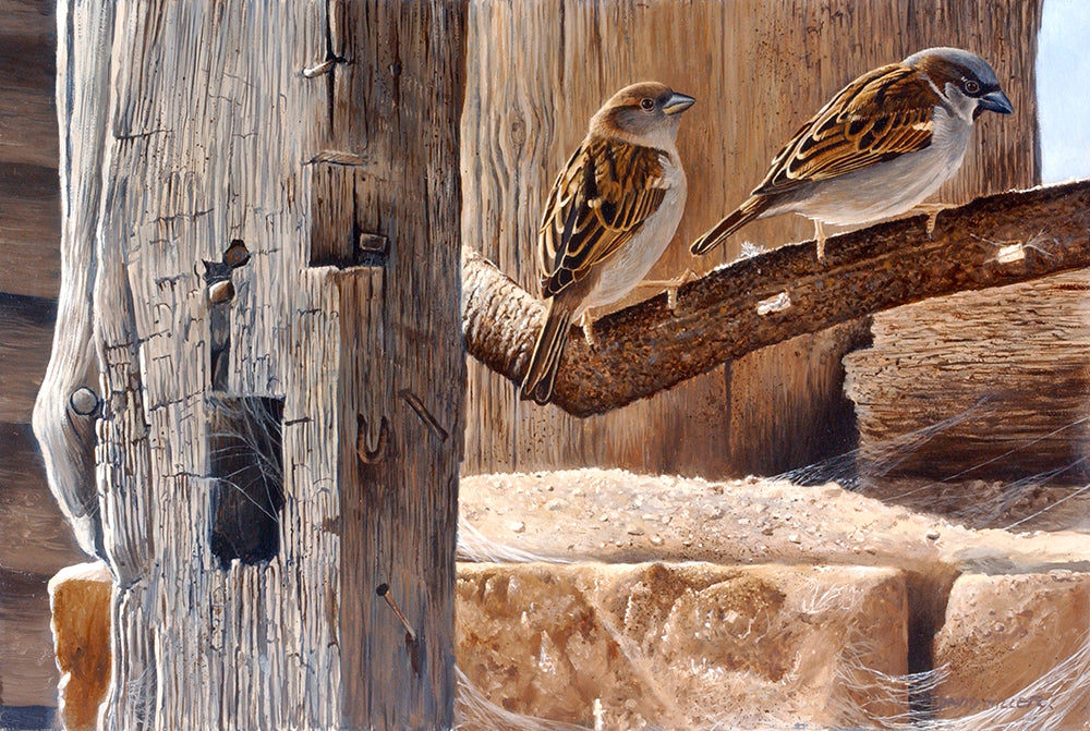 Mr and Mrs House Sparrows bird art print by wildlife artist david miller