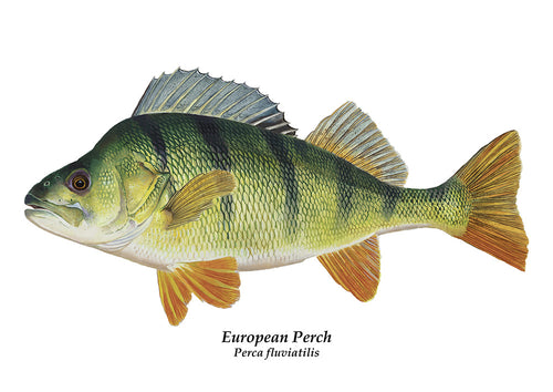 Perch, Perca fluviatilis fish art illustration print by wildlife artist david miller