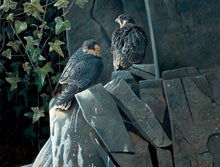 Load image into Gallery viewer, Light and Shade, Young Peregrines
