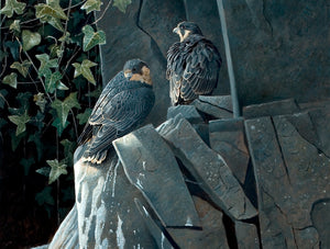 Light and Shade, Young Peregrines