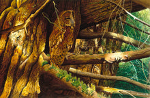 Load image into Gallery viewer, Bird art print of a tawny owl roosting in a yew tree by wildlife artist david miller