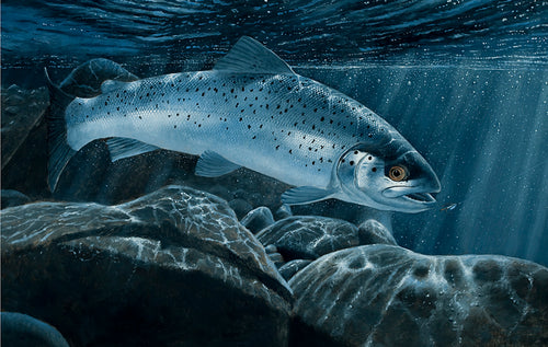 Sea trout environment agency rod licence print 2012 by wildlife artist David Miller. Salmo trutta.