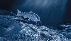 Sea Trout by Moonlight open edition fish art print of a sea trout underwater at night by wildlife artist David Miller. Salmo trutta.