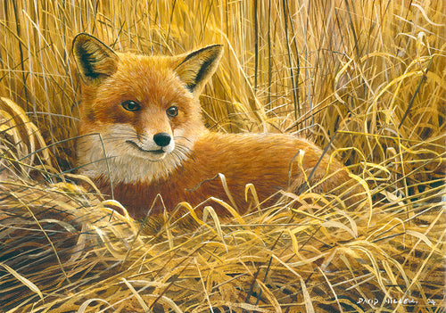 Early Morning Snooze Red Fox wildlife art print by David Miller. Vulpes vulpes.