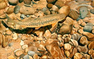 Sunlight and Pebbles fish art print by wildlife artist David Miller. Salmo trutta.