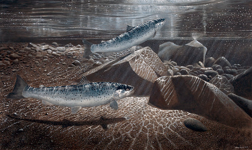 Sea trout, One on the Surface Lure limited edition game fish art print of sea trout underwater at night by wildlife artist David Miller. Salmo trutta.