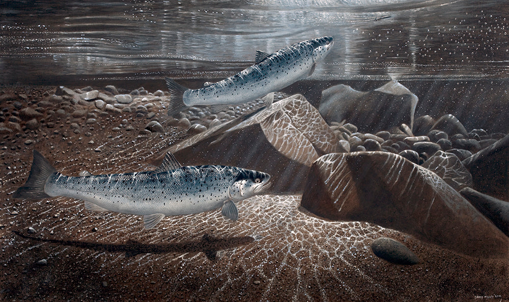Sea trout, One on the Surface Lure limited edition game fish art print of sea trout underwater at night by wildlife artist david miller