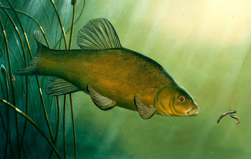 Tench rod licence limited edition print by wildlife artist David Miller. Tinca tinca.