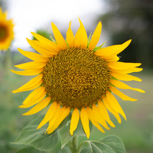 Sunflower Giant Russian