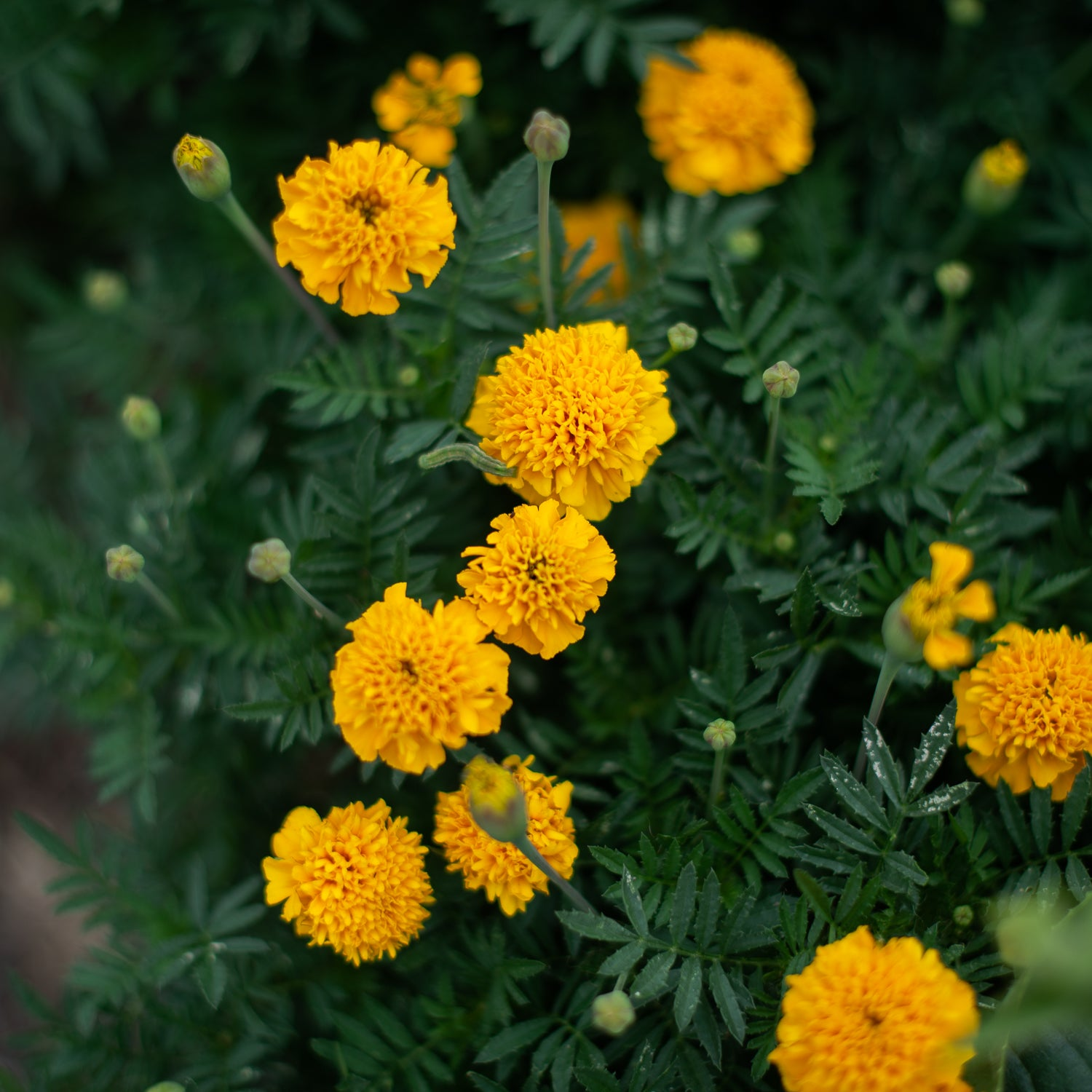 Marigold French Sparky
