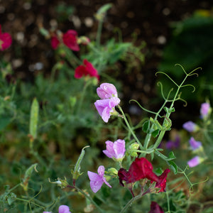 Sweet Pea Early Gigantea Multiflora