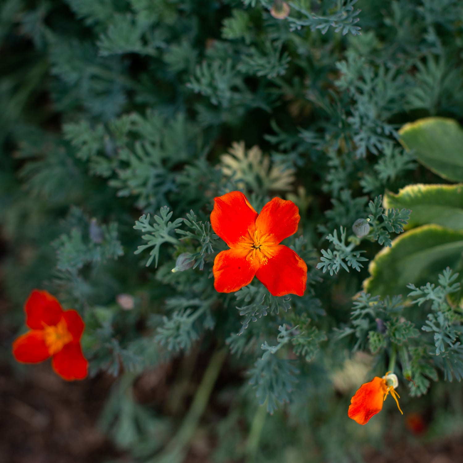 California Poppy Ballerina Mix