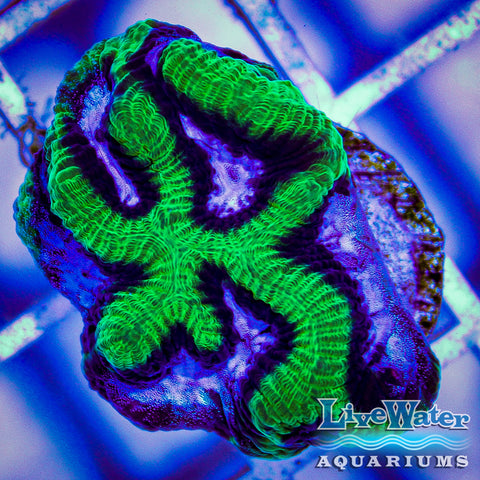 lps live water aquariums saltwater coral bright brain coral; sale; products; coral