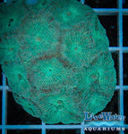Mint Green Goniastrea